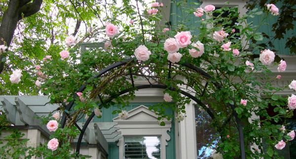 Roses on a trellis photograph