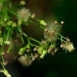 Pollen image